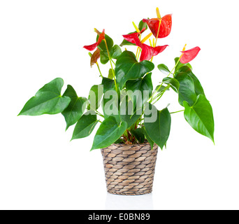 Red anthurium flower isolated on white background. common names include anthurium, tailflower, flamingo flower, - Stock Photo