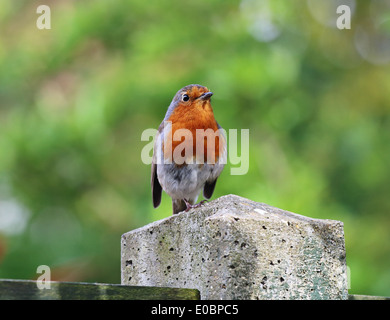 European or English Robin perched on a fence post (Erithacus Rubecula) - Stock Photo