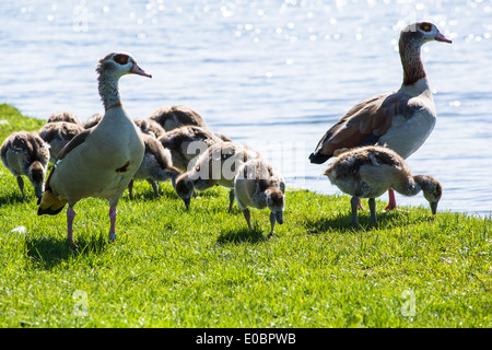 Egyptian Geese With Ducklings Home Park Kingston Surrey England London