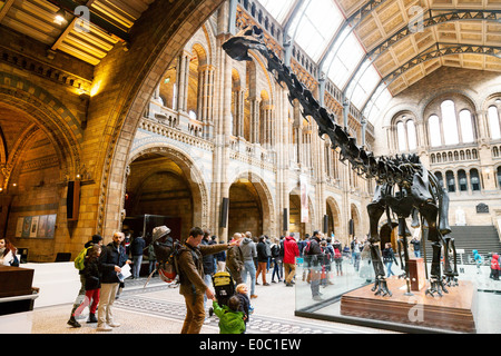 The statue of the diplodocus known as 'Dippy'  in the entrance hall, Natural History Museum London, England UK - Stock Photo