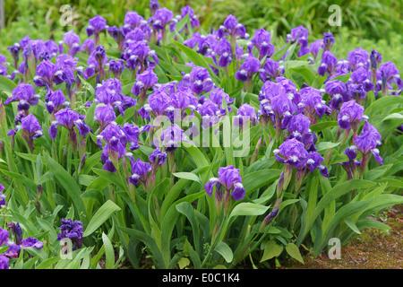 Miniature tall bearded Iris aphylla purple flowers - Stock Photo