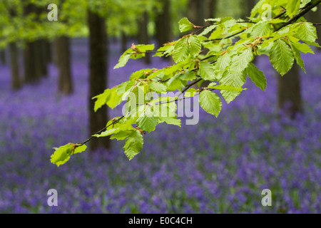 Fagus sylvatica. Beech leaves against a background of English Bluebells. - Stock Photo
