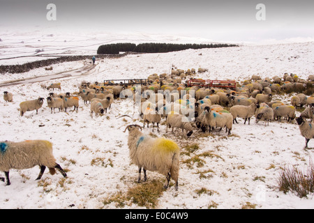 Sheep feeding on Hay on the moors above Settle in the Yorkshire Dales National Park, UK. - Stock Photo