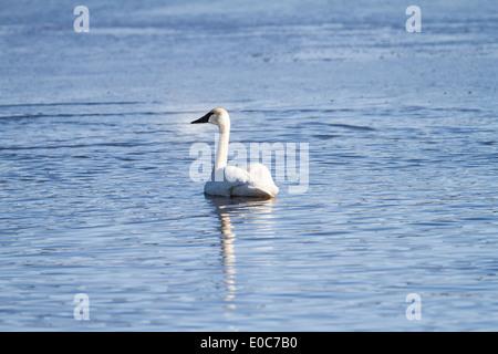 Trumpeter Swan (Cygnus buccinator) Beautiful white Trumpeter Swan, swimming in a blue lake. Rural, Alberta, Canada - Stock Photo