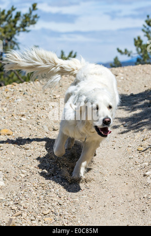 Platinum colored Golden Retriever dog running on a mountain trail - Stock Photo