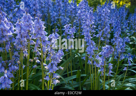 Bluebells Spanish blue bells Hyacinths Hyacinthoides Hispanica in forest woods. Now considered an invasive species - Stock Photo