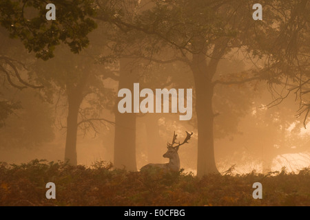 Fallow deer stag, Richmond Park, London. (Dama dama) - Stock Photo