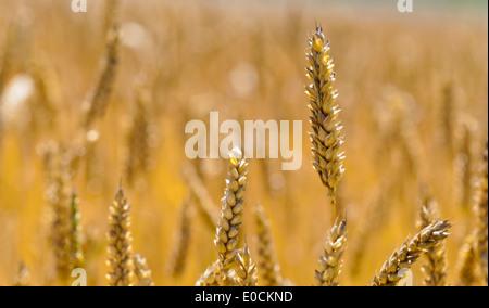 ears of wheat on a grain-field of a farmer in summer., aehren von Weizen auf einem Getreidefeld eines Bauern im - Stock Photo