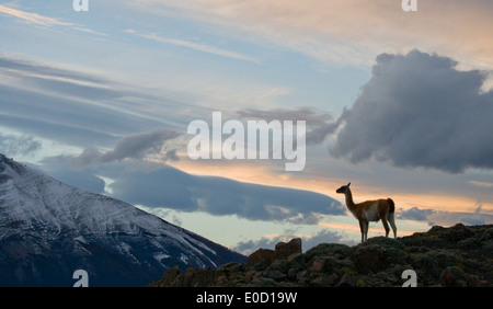 Guanaco at the sunset on the mountains of Torres del paine, Chile (Lama guanico)