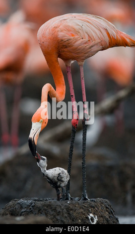 Carribean flamingo feeding a chick, Rio Maximo Reserve, Cuba (Phoenicopterus ruber)