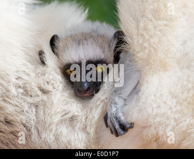 Close-up of baby Verreaux's Sifaka, Berenty National Park, Madagascar (Propithecus verreauxi) - Stock Photo