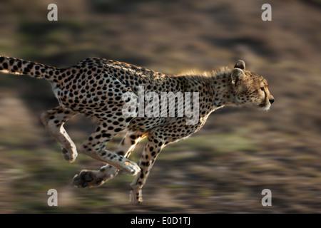 Running Cheetah, Serengeti, Tanzania (Acinonyx jubatus) - Stock Photo