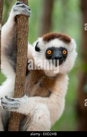 Male Verreaux's Sifaka, Kirindy Forest, western Madagascar (Propithecus verreauxi) - Stock Photo