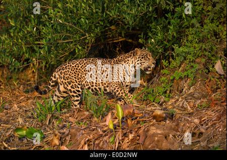 Wild male Jaguar stalking in late afternoon sun light. Cuiaba River, Northern Pantanal, Brazil. (Panthera onca palustris) - Stock Photo