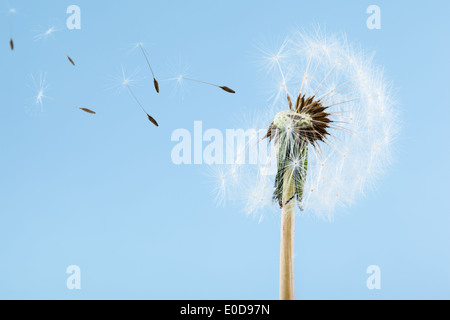 macro shot of a dandelion over a blue background with wind blowing seeds away - Stock Photo