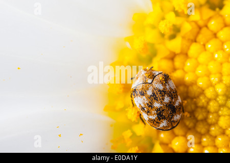 macro shot of a varied carpet beetle on a white daisy - Stock Photo