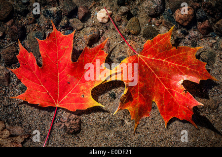 Two red fall maple leaves floating in shallow lake water with rocks on bottom - Stock Photo