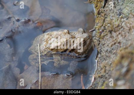 Zwei Erdkröten bei der Laichwanderung - Two common toads - Stock Photo