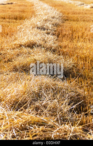 A grain-field with wheat shortly before the harvest, Ein Getreidefeld mit Weizen kurz vor der Ernte - Stock Photo