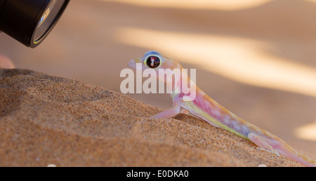 Palmatogecko (Pachydactylus rangei)  also known as Web-footed Gecko  being photographed - Stock Photo