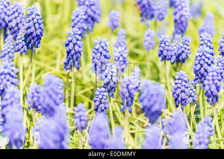 Tufted Grape Hyacinth (Muscari Comosum) - Stock Photo