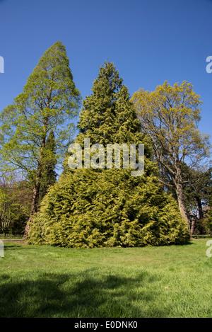 Conifer tree in a triangular shape - Stock Photo
