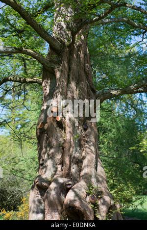 Metasequoia glyptostroboides, the dawn redwood tree, endangered coniferous tree, native to China, Wisley garden, - Stock Photo
