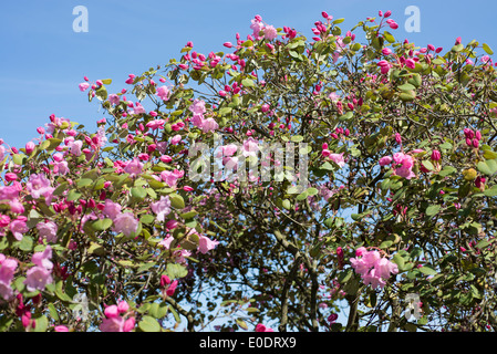 Rhododendron Temple Belle group - Stock Photo