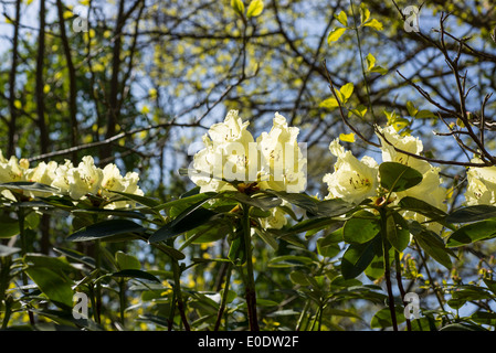 Rhododendron 'Beatrice Keir' - Stock Photo