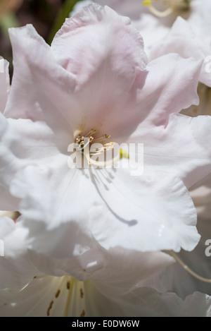 Rhododendron 'Loderi pink diamond' - Stock Photo