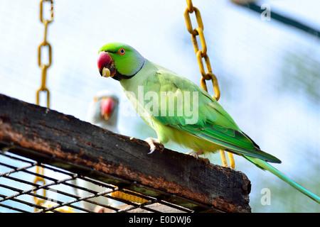 Green Indian Ring-necked Parakeet - Stock Photo