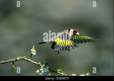 Goldfinch,Carduelis carduelis in flight - Stock Photo