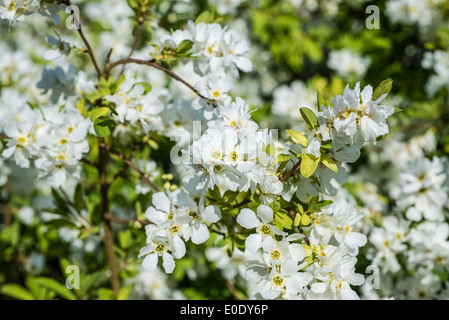 Pearl bush, Exochorda x macrantha 'The Bride' - Stock Photo