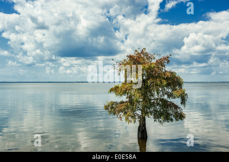 Lone cypress tree in water. Taxodium distichum - Stock Photo