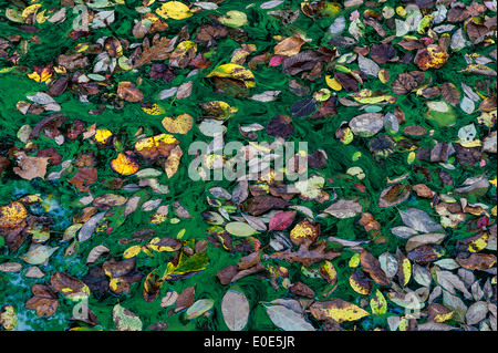 Autumn leaves in a pond of green algae. - Stock Photo