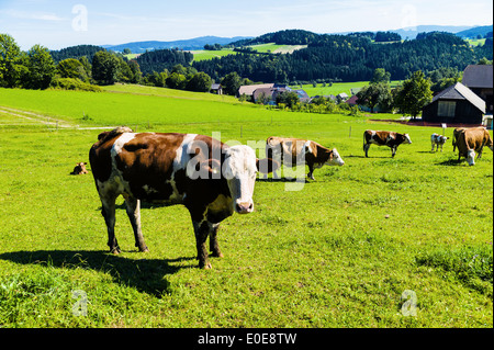 A happy cow with graze on the pasture. Keeping of pets in the agriculture, Eine glueckliche Kuh beim grasen auf - Stock Photo