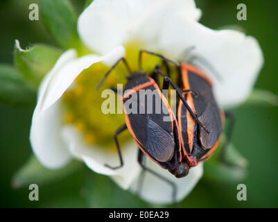 Elkton, Oregon, USA. 10th May, 2014. A pair of bordered plant bugs appear to embrace as they mate on plants growing - Stock Photo