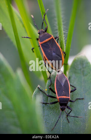 Elkton, Oregon, USA. 10th May, 2014. A pair of bordered plant bugs mate on plants growing along a small creek near - Stock Photo