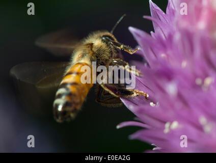 Elkton, Oregon, USA. 10th May, 2014. A honey bee feeds on a purple flower along a small creek near Elkton in southwestern - Stock Photo