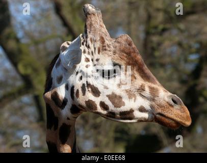 Close-up of  head of a Rothschild's giraffe a.k.a. Baringo or Ugandan giraffe (Giraffa camelopardalis) on the Savanna - Stock Photo