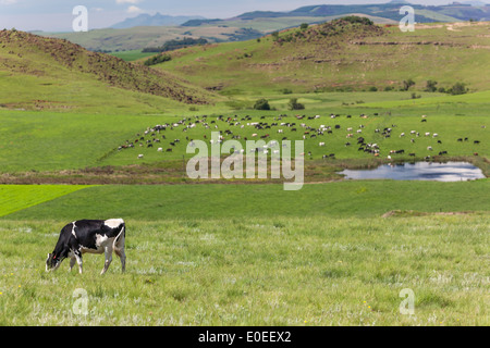 Single cow dairy animal on top of hillside with animal herd in the valley nearby waterhole - Stock Photo