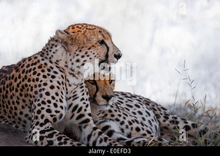 Though cheetahs are solitary animals, sometimes brothers can stay together for a lifespan, - Stock Photo