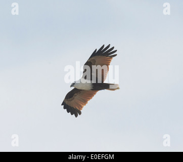 Brahminy Kite (Haliastur indus), Fraser Island, Queensland, QLD, Australia - Stock Photo