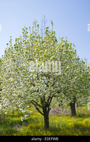 Blooming pear trees on Pelion Peninsula, Thessaly, Greece - Stock Photo