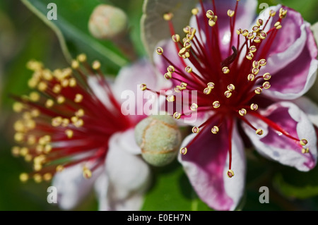 Blossoms and buds of the Brazilian guava / Pineapple guava (Acca sellowiana) - Stock Photo