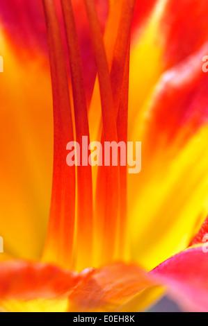 Macro of Orange Daylily (Hemerocallis fulva) - Stock Photo