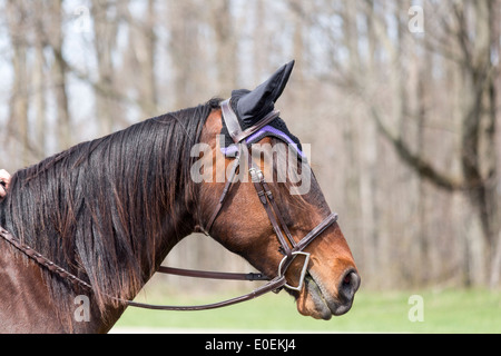 Bay horse head wearing english snaffle bridle with D-bit and ear protectors. - Stock Photo