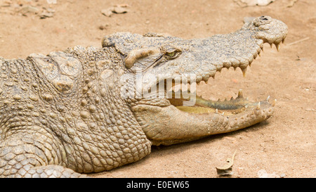 Crocodile resting in the sun (zoo Saigon, Vietnam) - Stock Photo