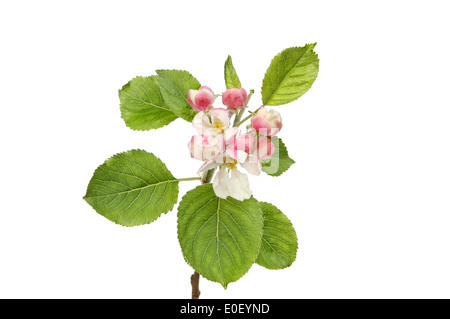Apple blossom and green leaves isolated against white - Stock Photo