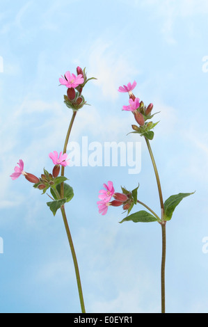 red campion, Silene dioica, wild flowers against a blue sky with white wispy clouds - Stock Photo